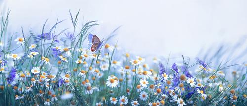 Fototapeta motyl, lawenda, stokrotka, pole, natura, piękno