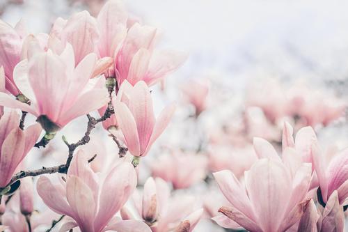 Fototapeta kwiaty, różowa magnolia, wiosna, fototapeta do sypialni