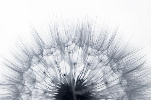 Fototapeta dmuchawce, do sypialni, monochromatyczna, makro, czarno-biała, dmuchawiec